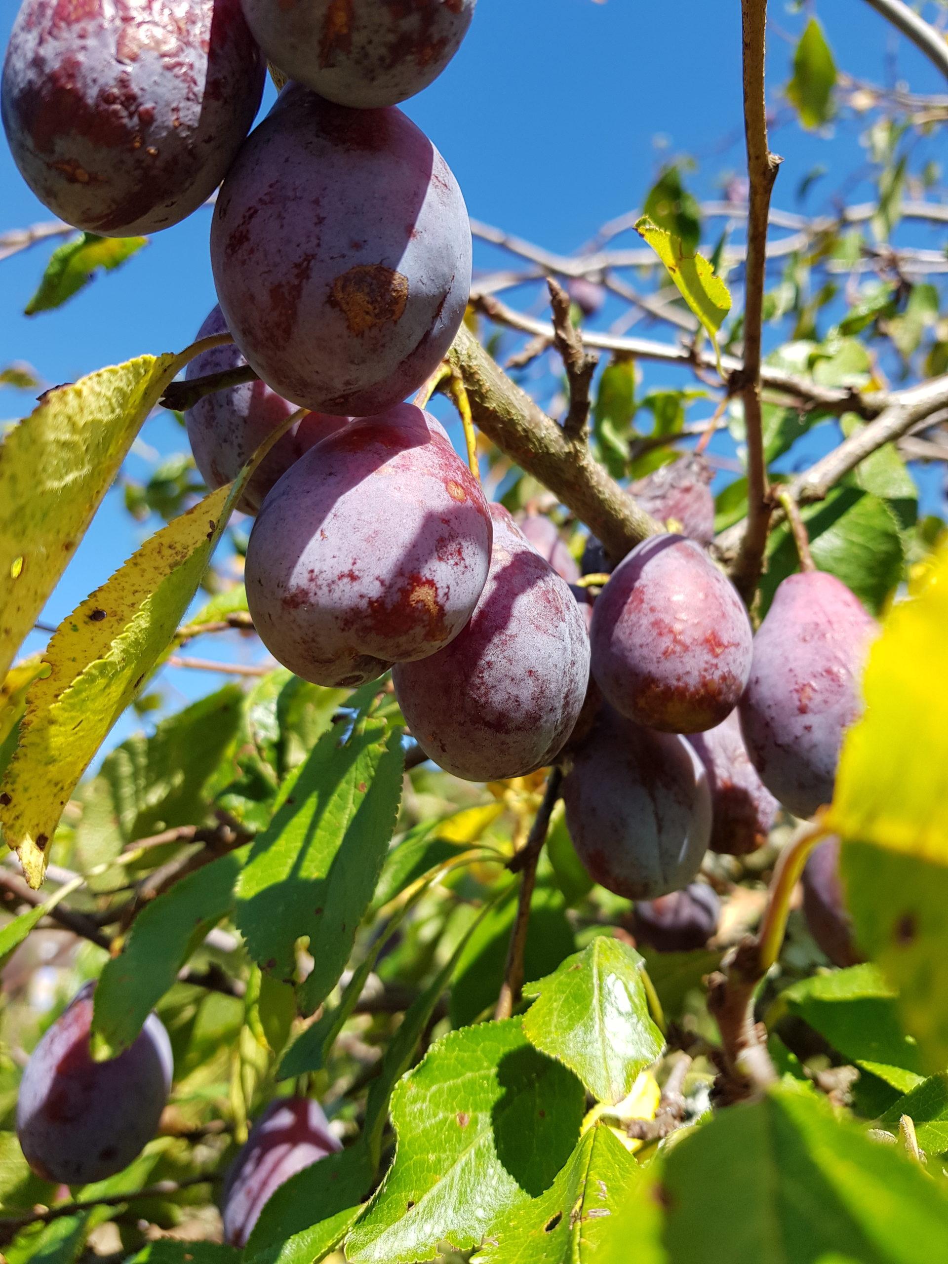 prunes sur l'arbre
