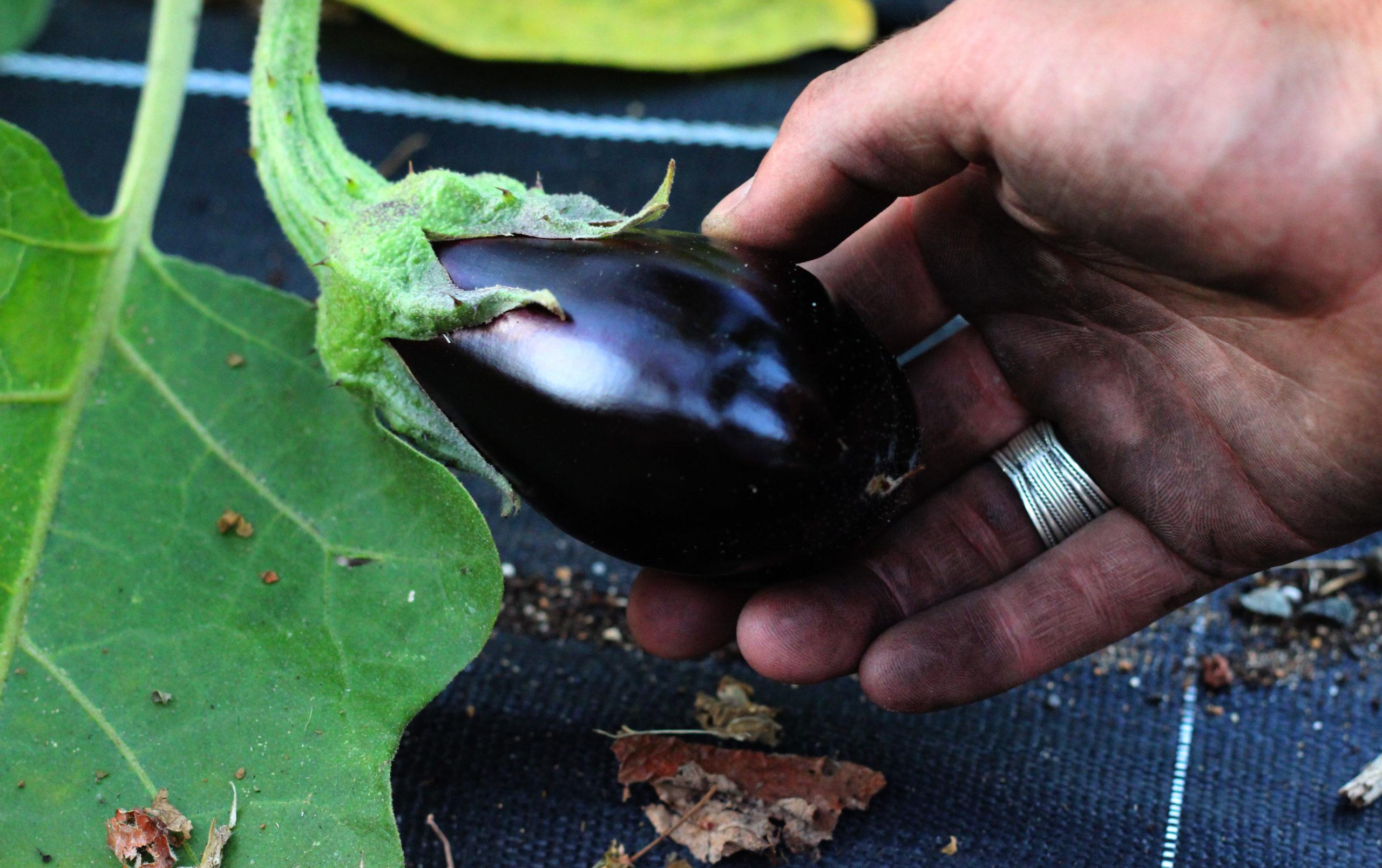 aubergine cueillie sur bâche, l'aubergine est une plante annuelle