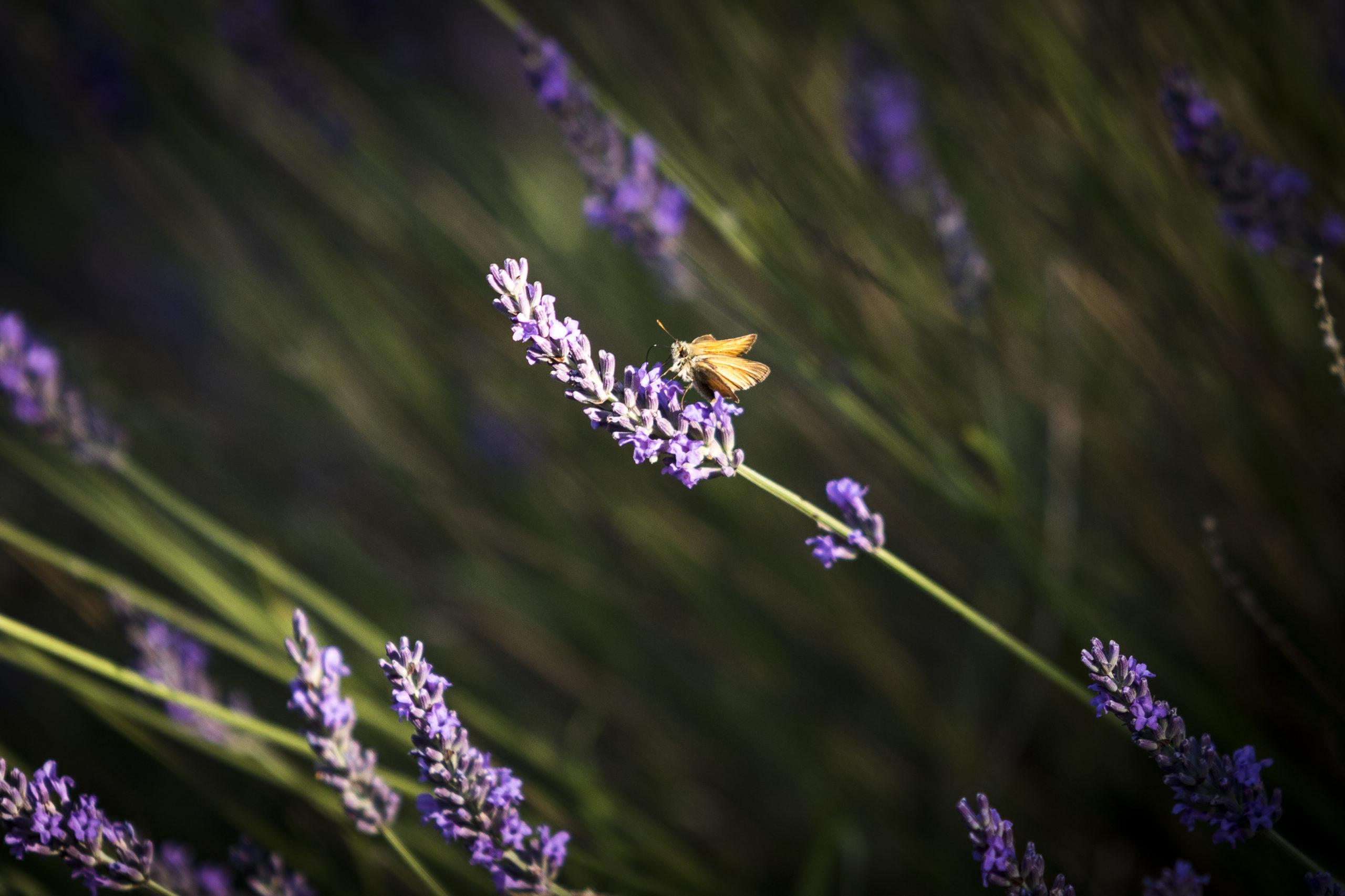 papillon posé sur un brin de lavande dans un champ bio