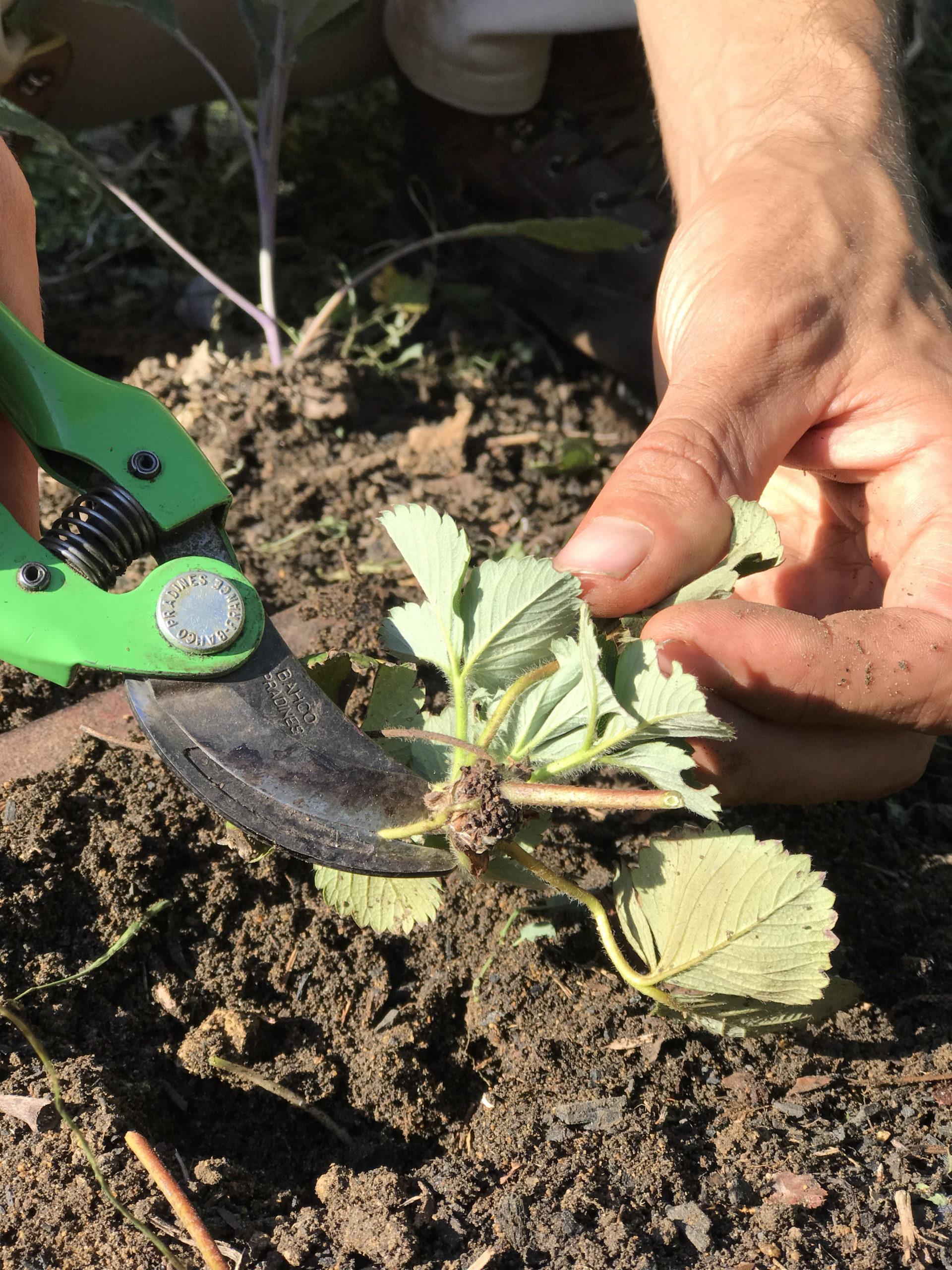 stolon de fraisier avec petites racines prêtes à bouturer