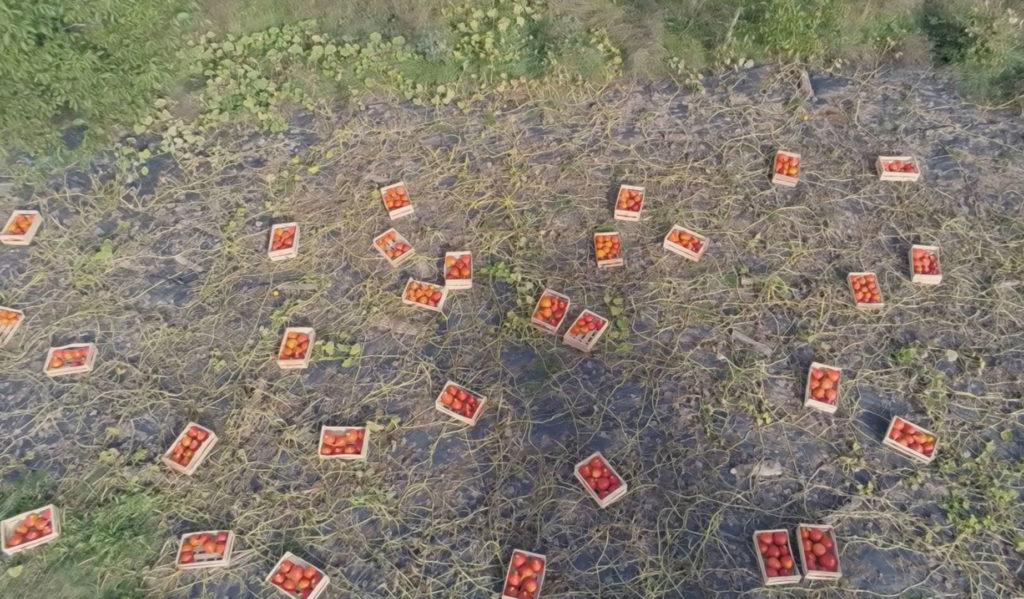 récolte de potimarrons en cagettes vue en drone du dessus