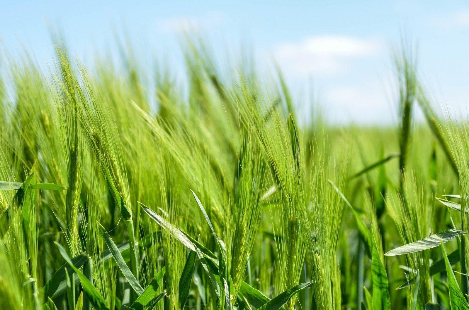 engrais vert avoine dans un champ