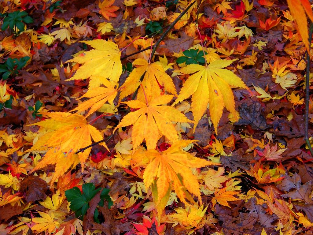 feuille d'érable couleurs d'automne jaune et rouge