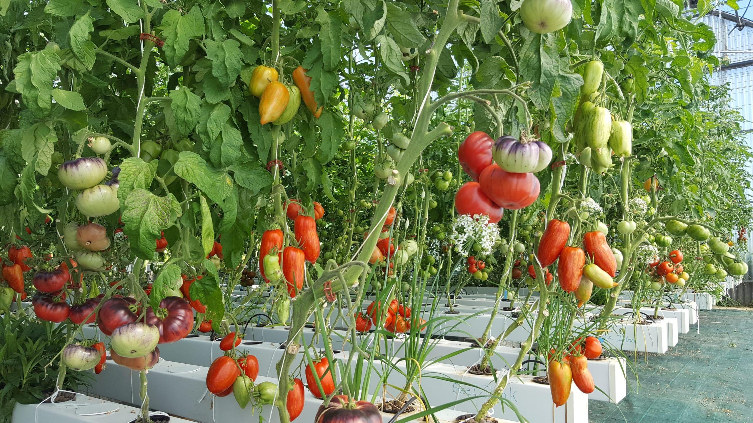Légumes poussant hors sol en hydroponie