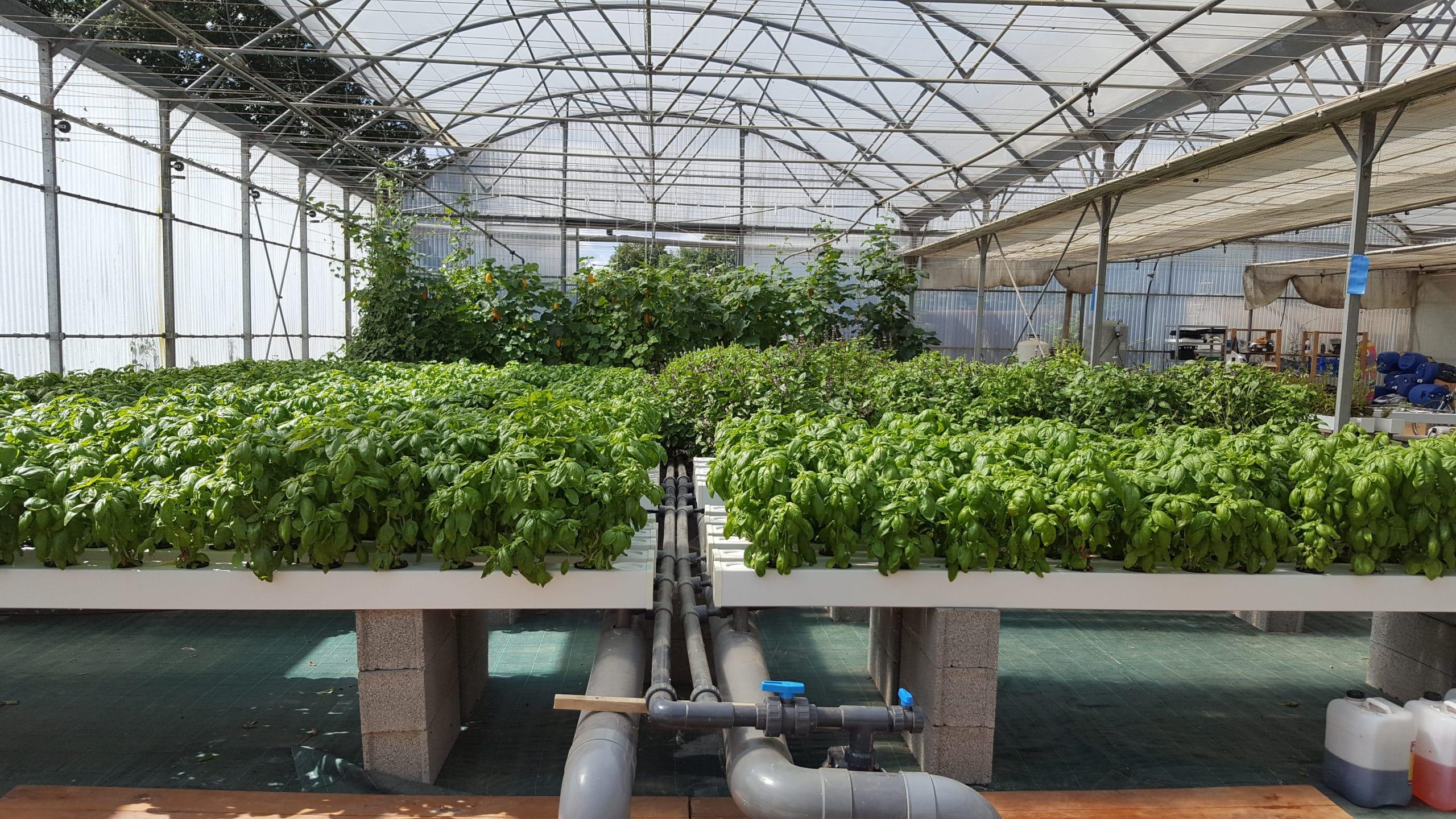 culture légumière sur des bacs d'aquaponie