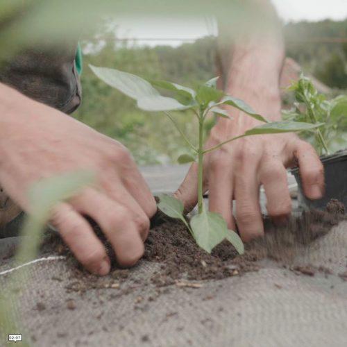 repiquage d'un plant dans un trou de bâche